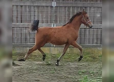 Welsh PB (Partbred), Mare, 6 years, 14.1 hh, Brown