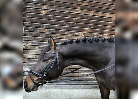 Other Warmbloods, Gelding, 4 years, 16.1 hh, Smoky-Black