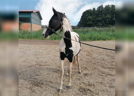 Lewitzer, Mare, 2 years, 13.3 hh, Pinto