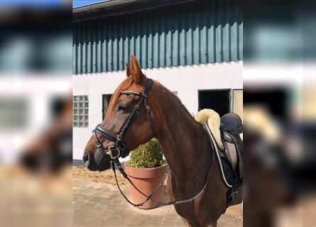 German Riding Pony, Mare, 11 years, 14.2 hh