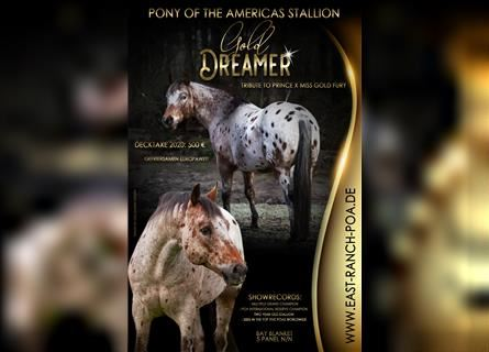 Pony of the Americas, Stallion, 21 years, 13.3 hh, Brown