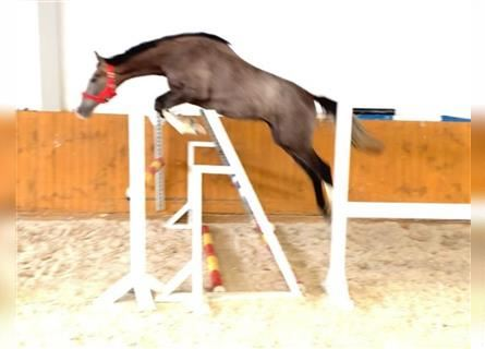 KWPN, Mare, 2 years, 16.1 hh, Gray