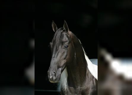Tennessee walking horse, Stallion, 23 years, 15.1 hh, Tobiano-all-colors