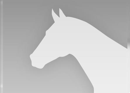 Mustang (american), Stallion, 9 years, 14.1 hh, Tobiano-all-colors