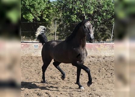 Andalusian, Stallion, 3 years, 16.1 hh, Gray