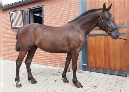 New Forest Pony Mix, Mare, 3 years, 13 hh, Smoky-Black