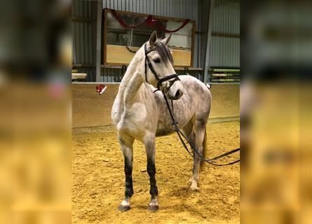 KWPN, Mare, 8 years, 14.3 hh, Gray