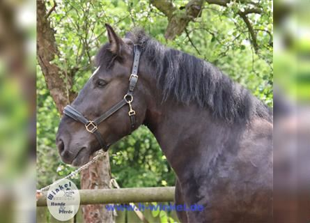Other Heavy Horses, Gelding, 5 years, 15.2 hh, Black