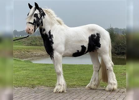 Gypsy Horse, Gelding, 2 years, 13.2 hh, Pinto