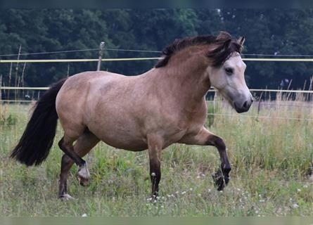 More ponies/small horses, Mare, 4 years, 11.2 hh, Dun