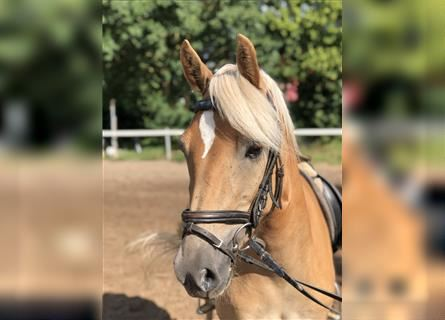 Haflinger, Mare, 5 years, 14.2 hh