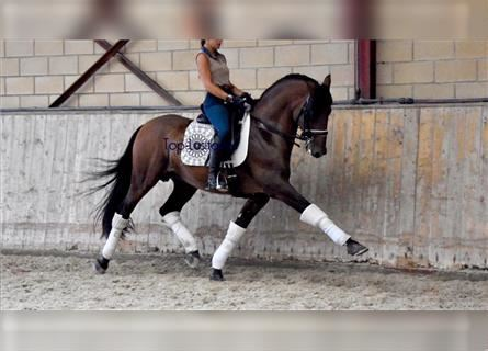 Andalusian Mix, Stallion, 8 years, 15.2 hh, Brown