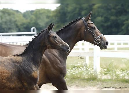 Anglo-Arab, Mare, 1 year, 15.3 hh, Gray