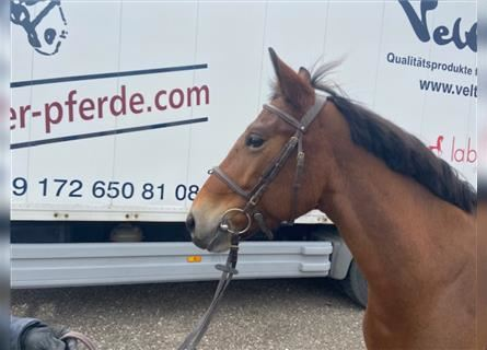 More ponies/small horses, Mare, 9 years, 13.3 hh, Brown