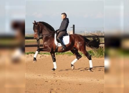 Andalusian, Gelding, 12 years, 17 hh, Bay
