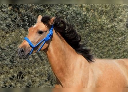 Andalusier, Hengst, 2 Jahre, 146 cm, Falbe