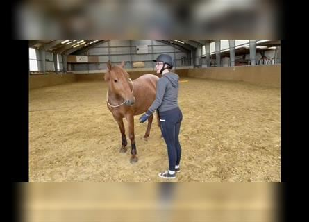 Polish riding pony, Mare, 5 years, 13.1 hh, Roan-Red