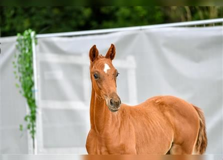 Hanoverian, Mare, Foal (04/2021), Chestnut-Red