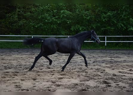 Polish Warmblood, Mare, 2 years, 16 hh, Can be white