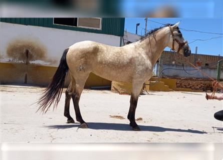 Andalusian, Mare, 4 years, 16 hh, Dun