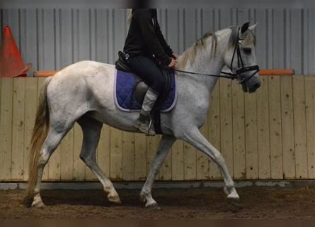 Other Breeds, Mare, 11 years, 14.2 hh, Gray