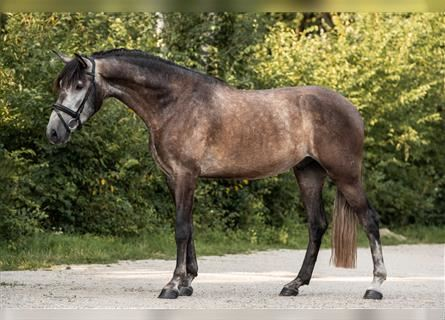 Andalusian Mix, Gelding, 4 years, 16 hh, Gray