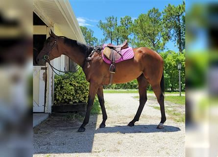 Other Thoroughbreds, Mare, 4 years, 17 hh, Bay