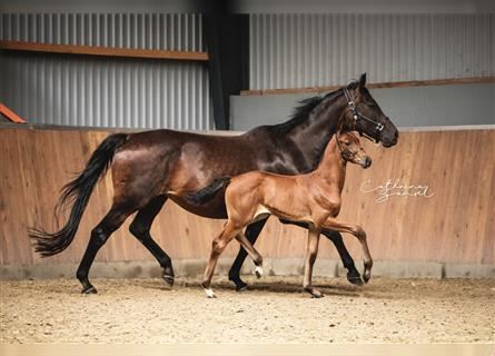 Hanoverian, Mare, Foal (06/2021), 16.2 hh, Brown