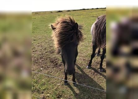 Icelandic Horse, Mare, 2 years, 13 hh, Brown