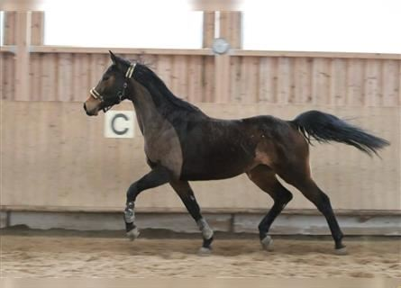 Trakehner, Mare, 6 years, 16 hh, Brown