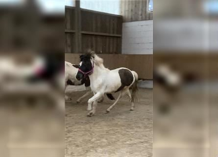 Icelandic Horse, Mare, 3 years, 13.1 hh, Pinto