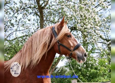 Other Breeds, Mare, 6 years, 16 hh