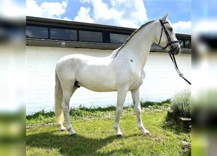 Andalusian, Gelding, 13 years, 15 hh, Gray