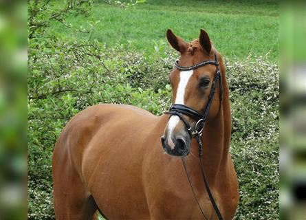 Hanoverian, Mare, 3 years, 16.2 hh, Chestnut-Red