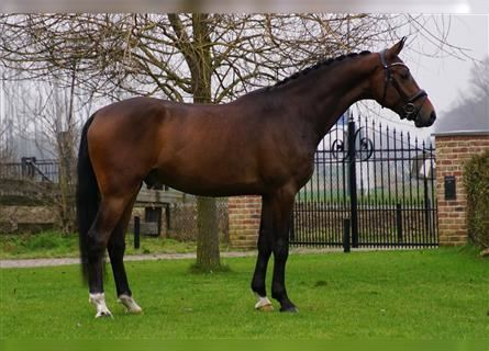 KWPN, Mare, 3 years, 16 hh, Brown