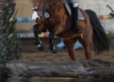 German Riding Pony, Mare, 16 years, 14.1 hh, Brown