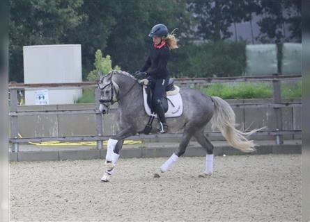 German Riding Pony, Mare, 5 years, 14.1 hh, Gray