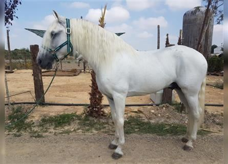 Andalusian, Stallion, 9 years, 15.2 hh, Can be white