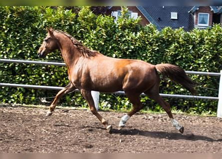 Hanoverian, Mare, 7 years, 16.1 hh, Chestnut-Red