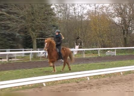 Icelandic Horse, Mare, 9 years, 13.3 hh, Chestnut-Red