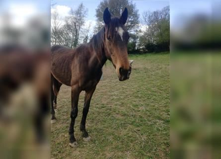 French Trotter, Stallion, 2 years, 15.2 hh, Brown