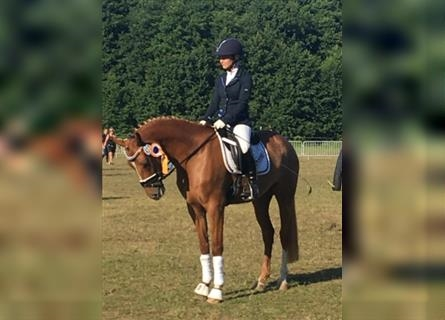 German Riding Pony, Mare, 6 years, 14.2 hh, Chestnut-Red
