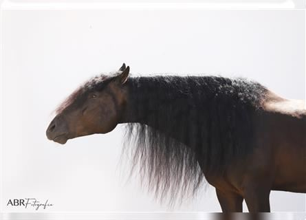 Andalusian, Stallion, 11 years, 16.2 hh, Black