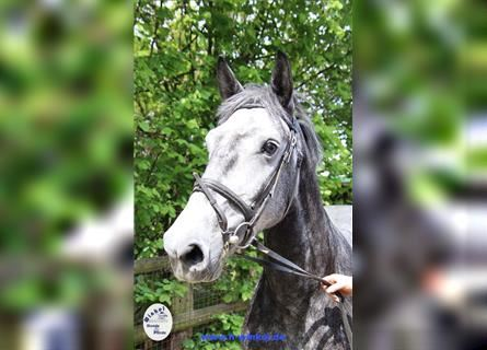 Other Warmbloods, Mare, 4 years, 15.2 hh, Gray