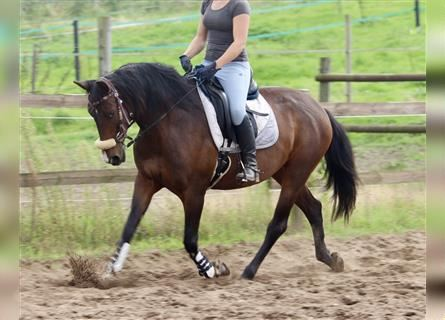 Andalusian Mix, Mare, 7 years, 15.1 hh, Brown
