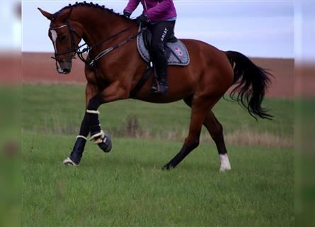 KWPN, Mare, 7 years, 17 hh, Brown