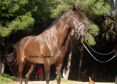Andalusier, Hengst, 7 Jahre, 160 cm, Rappe