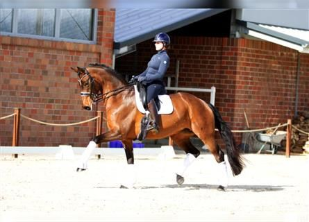 Hanoverian, Mare, 13 years, 16.2 hh, Brown