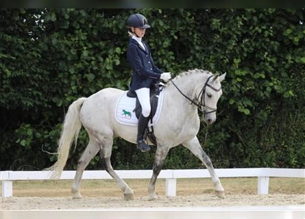 More ponies/small horses, Gelding, 14 years, 13.2 hh, Gray