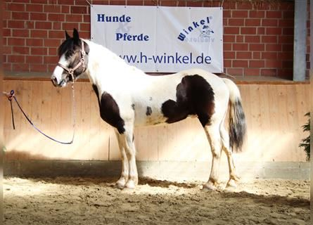 Other Warmbloods Mix, Gelding, 6 years, 15 hh, Pinto